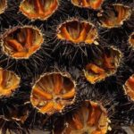 puglia-sea-urchins